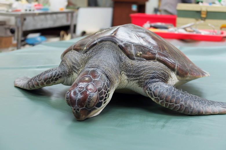 高雄市農業局12月8日在高雄發現一隻死因不明的綠蠵龜,隔日(9日)由中興大學進行電腦斷層掃描與解剖。