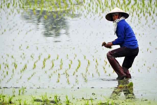 寒流後勿多下氮肥 避免稻熱病大發生