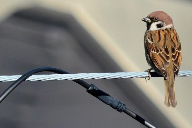 高病原禽流感再起 麻雀野鴿驗出病毒