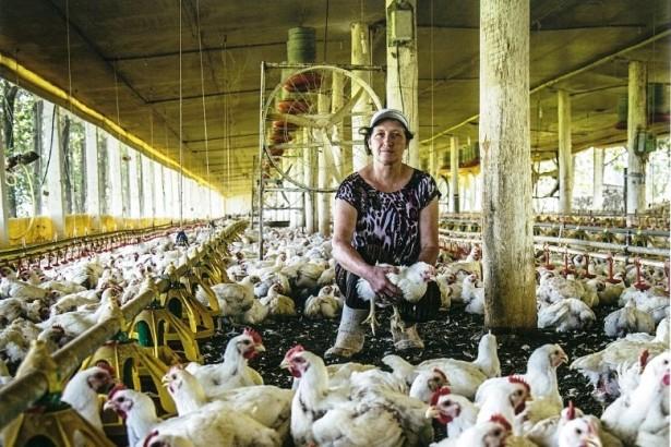台灣禽流感風暴未歇 巴西白肉雞來叩關