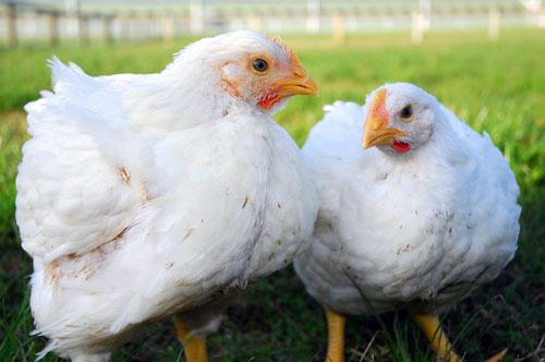 白肉雞32天上市 因為打了生長激素?