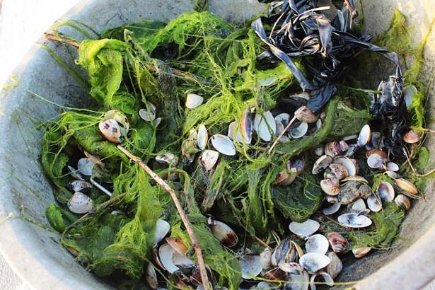 耐寒黑鯛取代虱目魚 幫文蛤消滅水藻