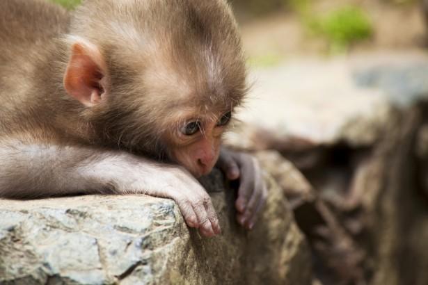 為什麼猴子越來越多?