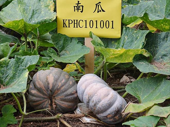 南瓜高雄1號田間果實(圖片提供/高雄農改場)