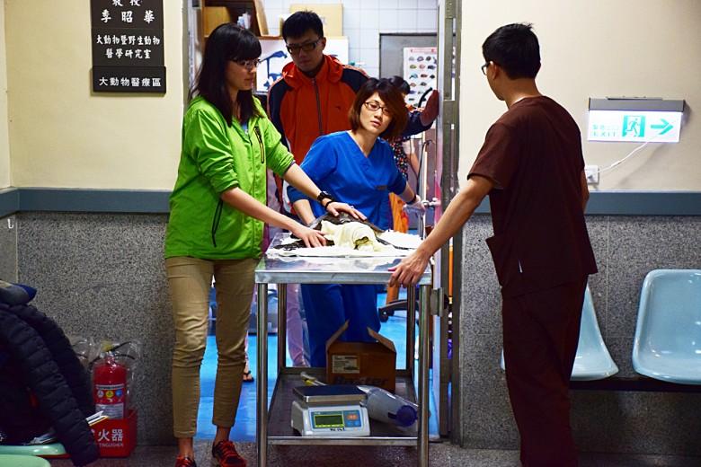 受傷的海龜會送到台灣大學動物醫院進行治療,每隻至少回診3次,生命跡象穩定才能野放。(圖/潘子祁攝)
