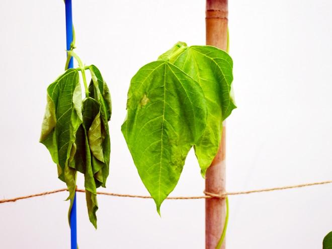 得了萎凋病的菜豆葉面不張,被形容為「睡午覺」。(圖/潘子祁攝)