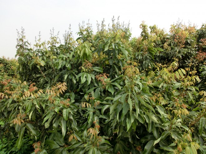 玉荷包混和花序(帶葉花序)