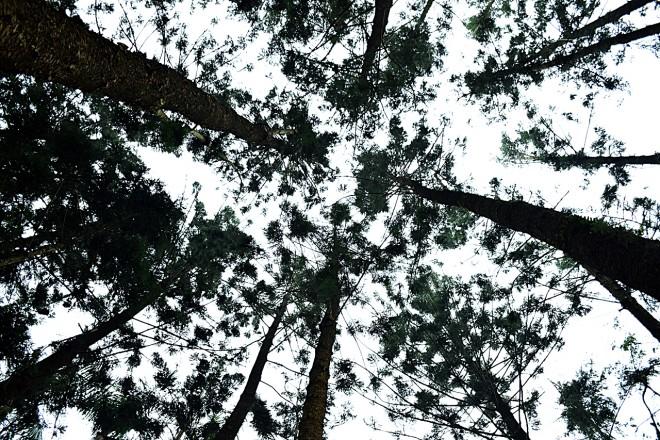 生長、競爭會產生弱勢植株,此時更容易引發病蟲害,但能透過適當疏伐改,且汰換掉老化、固碳能力衰退的植株。(圖/潘子祁攝)