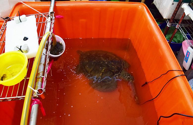 研究室的每盆中都有慮食盆,並固定每天換水,只是對海龜來說不如大海遼闊。(圖/潘子祁攝)