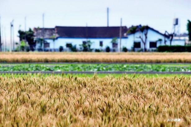 小麥復耕遭嚴重雨害 學者籲加強育種