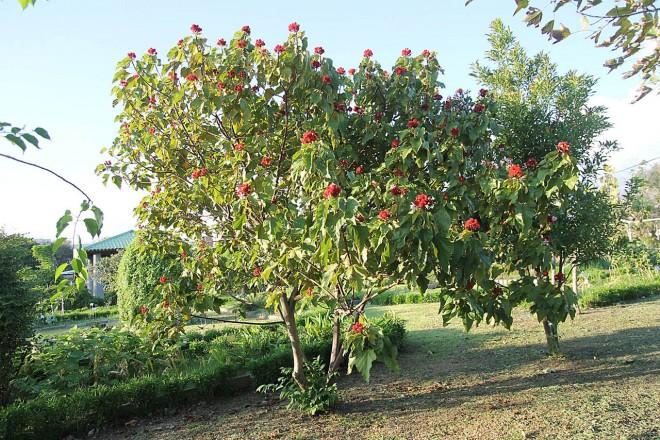 胭脂樹果實紅豔醒目,常作為景觀植物