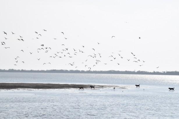 濕地養殖爭議 黑面琵鷺與漁民搶地?