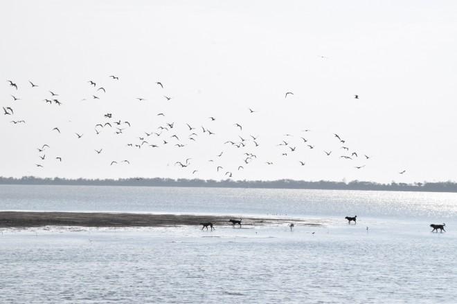 黑面琵鷺來台過冬時,常於溼地上歇息。(圖/潘子祁影)