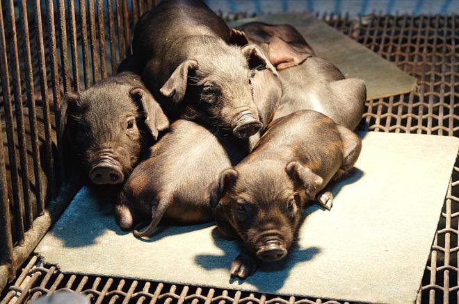 六堆黑豬。(攝影/郭琇真)