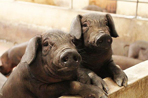 長的慢比較好吃 六堆黑豬基因強大