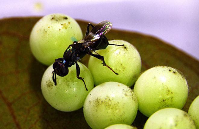圖2 平腹小蜂搜尋荔枝椿象卵並產卵其內,使其卵無法孵化