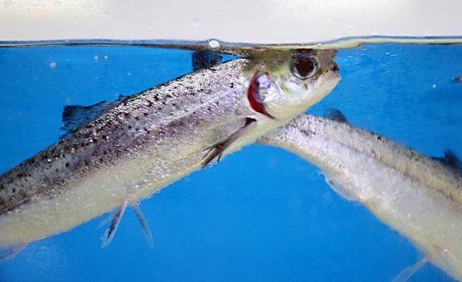 已經銀化的大西洋鮭魚,目前推估只要2.5年便能達4到6公斤的上市重量。(圖/潘子祁攝)