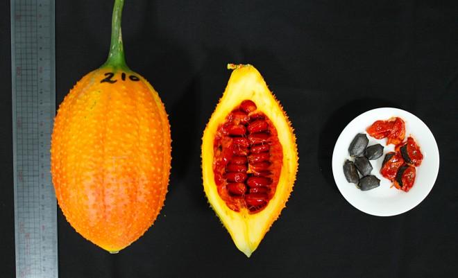 木虌果果實碩大,剖開後紅色的假種皮是農改場建議的食用部位,至於假種皮中的黑色種子則帶有微亮毒性,不建議食用。(圖/台東區農改場提供)