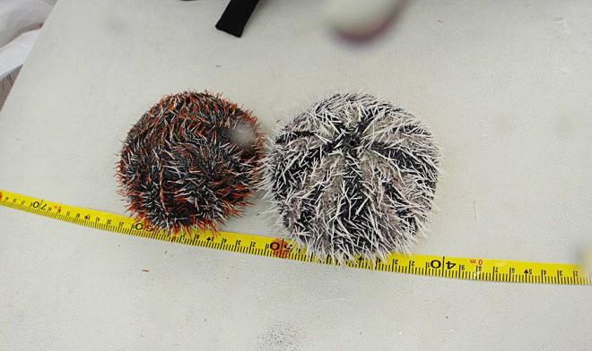 澎湖共生藻協會日前下海進行調查,發現澎湖海域僅存的海膽多為10公分以上的老海膽。(圖片提供/陳盡川)