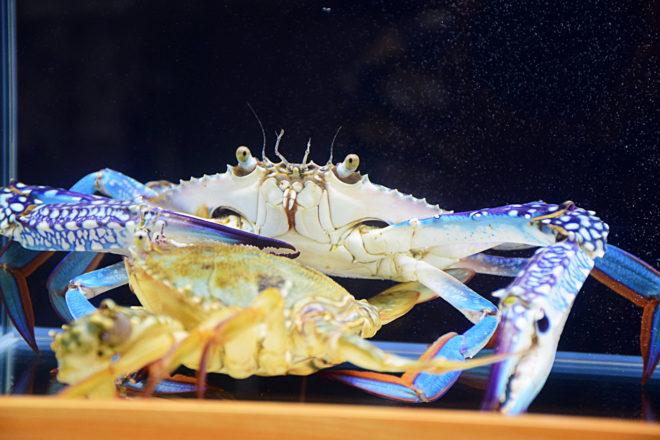 花俏的外殼是雄性遠海梭子蟹的特色,地域性極強,即便「室友」是母蟹也會不斷進逼。(圖/潘子祁攝)