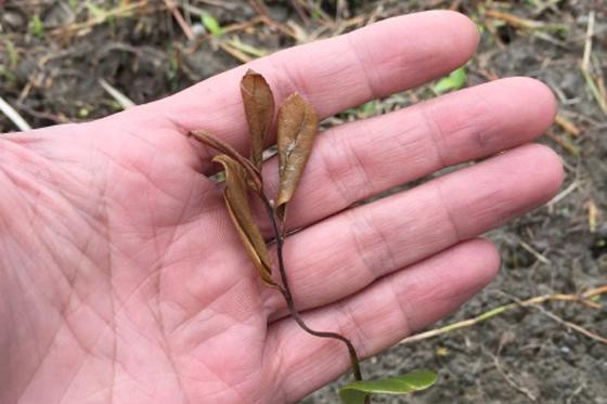 【公民寫手】宜蘭南澳苦茶樹園病蟲害記錄