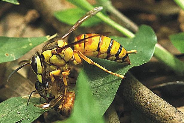 百年首次確認 雙色虎頭蜂登陸台灣