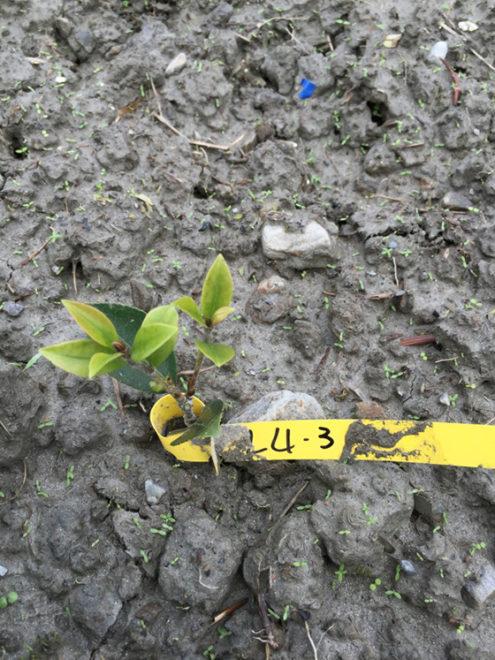 頂芽黃化的狀況通常比較常會是生理性的狀態,可能是移植的根系受損,養分不足,也可能是寒害,且看不到病原或蟲原,所以我們決定再栽種一陣子觀察,再調整裁培管理。