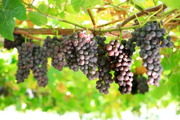 乾耕節水種葡萄 台灣是否可行?