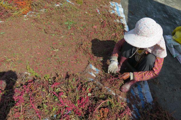 閒不下來的阿嬤,為了收紅藜、曬紅藜,忙個不同, 努力地做。