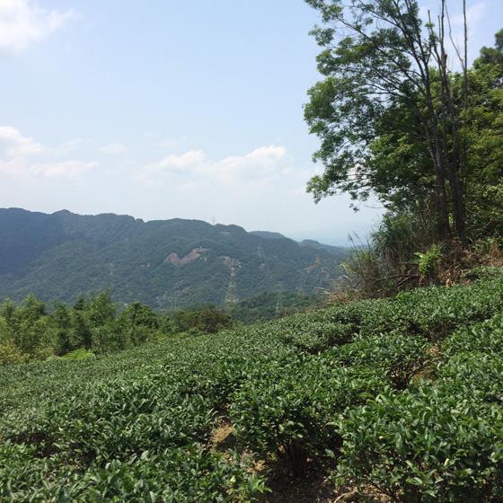 大太陽下,茶樹綠意盎然,我們的心情也盎然。