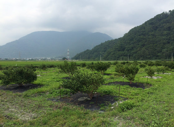 5年樹的樹苗越來越茁壯,春梢生長旺盛,也開始結籽了。