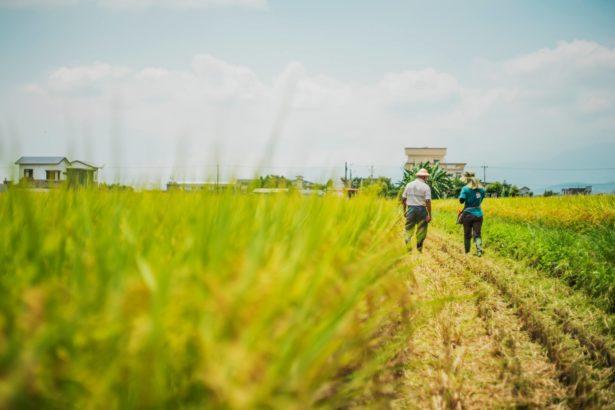 青農真心話:米賣不完啊!種米的人變多 吃飯的人沒增加