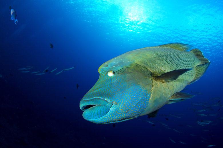 10-uwwa-fishnapoleon-20140501_f7a5008