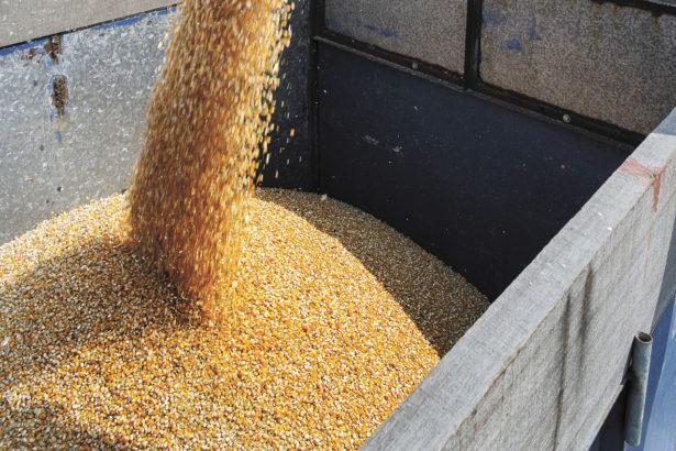 本土硬質玉米爆發基改污染 朴子農會已售出680噸 進口混充或在地污染?