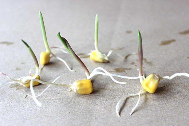 【調查報導】路邊捕獲基改豆─基改種子落地生根 導言