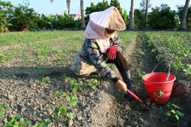 颱風後遺症 高屏紅豆大規模染病 專家農友拚搶救