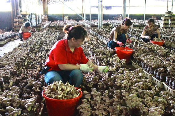 台灣香菇危機!菌種退化氣候暖化 韓國年投60億 台灣連車尾燈都追不上
