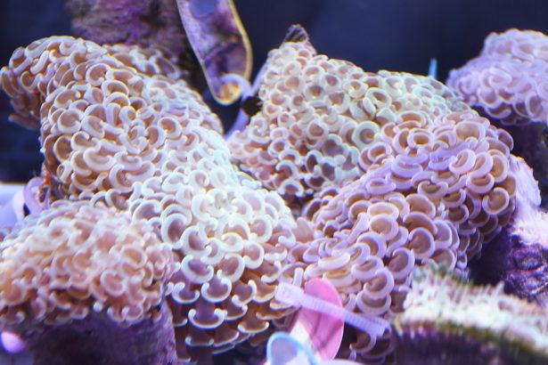 解開珊瑚有性生殖的秘密 海大團隊研究登國際期刊