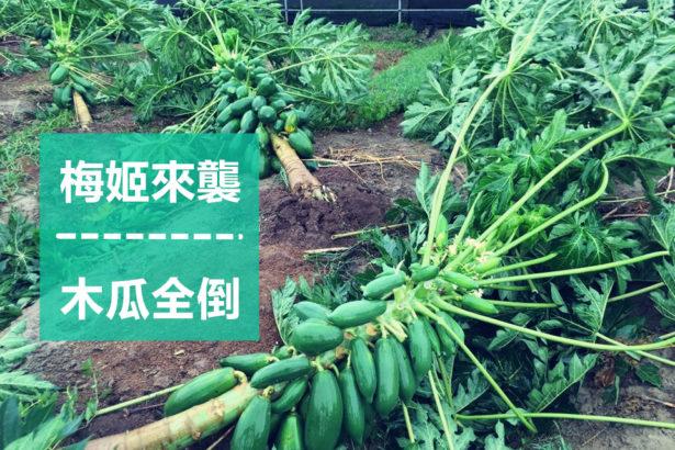 【公民寫手】阿榮哥重生的有機木瓜,跟你想的不一樣!