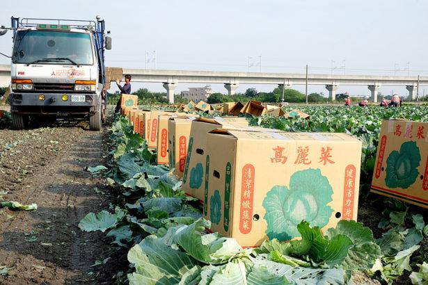 農委會放話帶風向 高麗菜提前價崩 菜農怨過度干預