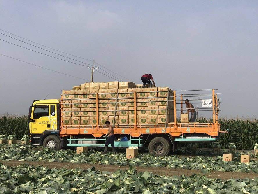 高麗菜價崩,產地價一公斤跌至4、5元,農民幾乎血本無歸(林佳新提供)