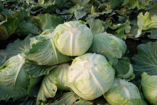 高麗菜爆量為何不外銷?「品種不對、沒有戰略」是關鍵