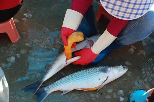 邁向更好的烏魚產業 漁業署:禁用雌激素 輔導自然養殖