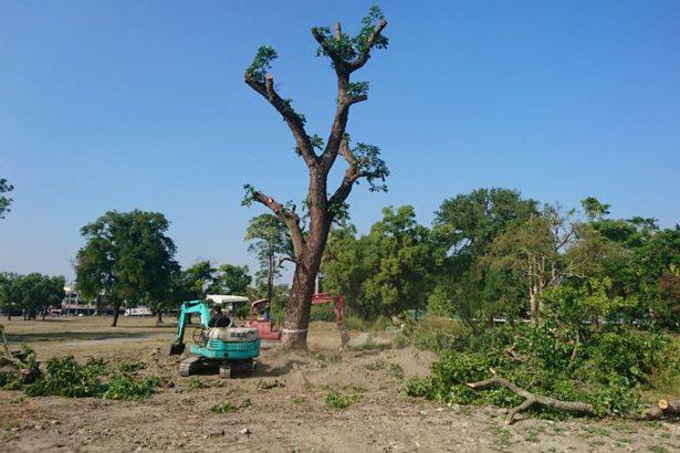 13棵老樹賣28萬 台糖遭溪洲鄉公所指控賤賣