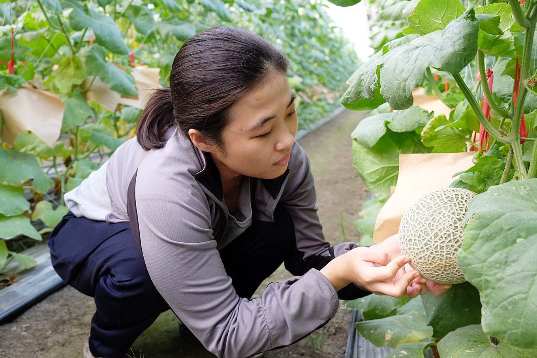 花費一季、約半年的技術提升,吳睿娟今年已把阿露絲網紋洋香瓜的育成率拉高到8成。 (2)