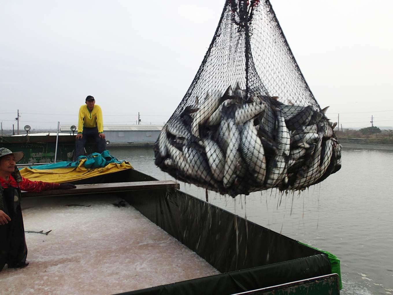 養殖烏魚收成情況3