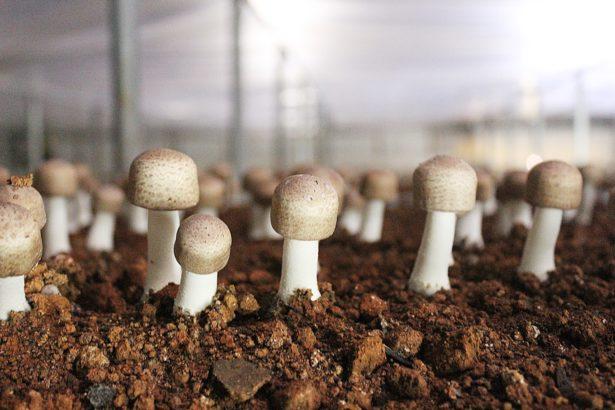 跟菇睡覺磨感情  兒子休學陪老爸 蕭進德呵護有機巴西蘑菇
