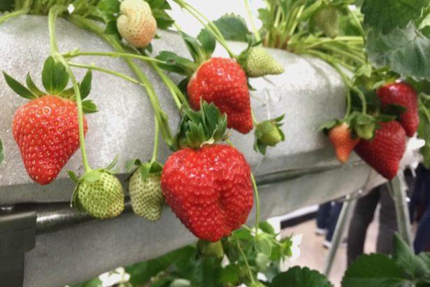 種草莓不用農藥!農試所推「三位一體」整合管理 健康產量多