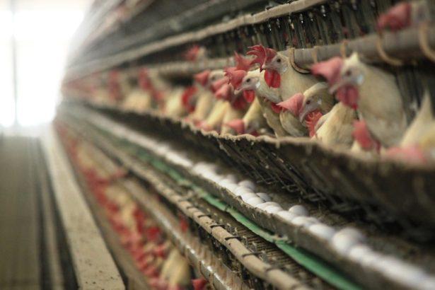 養禽開放好?非開放好?是強迫家禽坐牢 還是降低感染風險?
