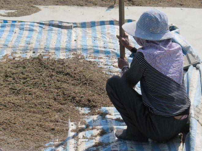 ˙田龜計畫第一個本土種植鼠尾草,種子收割後稱會奇亞籽,2017年2月底上市。您不必再等國外進口的奇亞籽。